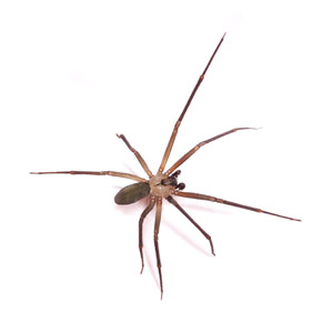 brown recluse spider nashville