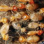 pest control brentwod tn