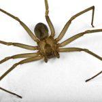 brown recluse spider control nashville franklin brentwood