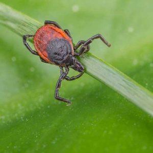 Deer Ticks Carry Lyme Disease