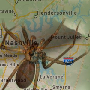 Hendersonville brown recluse