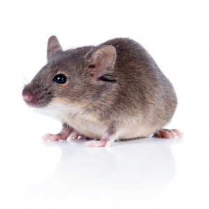 Rodent Control Removal Franklin TN