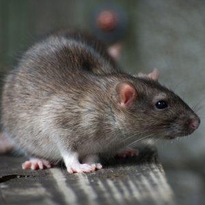 mouse pest control franklin rat pest control brentwood rodent control nashville