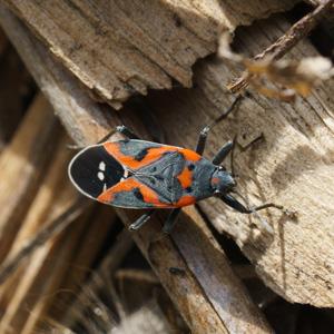 Fall Pest Invasion by Box Elder Bugs